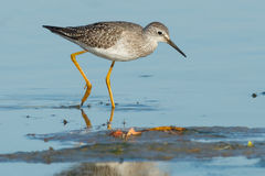 Lesser Yellowlegs Royalty Free Stock Photography