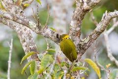 Lesser Yellownape woodpecker green yellow bird with bright yellow tufted nape pecking tree truck searching for worm. Lesser Yellownape woodpecker green yellow royalty free stock photos
