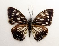 Lesser Zebra Graphium macareus Butterfly Royalty Free Stock Images
