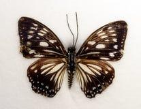 Lesser Zebra Graphium macareusfjäril Royaltyfria Bilder