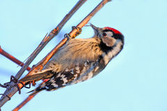 Lessers potted woodpecker Royalty Free Stock Image