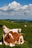 lessinia αγελάδων Στοκ εικόνα με δικαίωμα ελεύθερης χρήσης