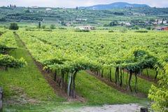 Lessinia (Véneto, Italia), viñedos en el verano Imágenes de archivo libres de regalías