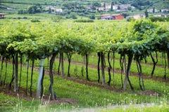 Lessinia (Veneto, Italien), Weinberge am Sommer Lizenzfreie Stockfotografie