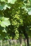 Lessinia (Veneto, italy), green grapes Royalty Free Stock Image