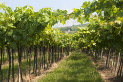 Lessinia (Veneto, italy), vineyards at summer Royalty Free Stock Photos