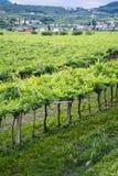 Lessinia (Veneto, italy), vineyards at summer Royalty Free Stock Photos