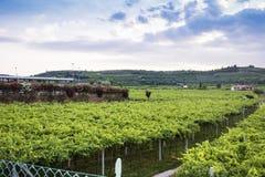 Lessinia (Veneto, italy), vineyards at summer Stock Image