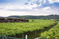 Lessinia (Veneto, italy), vineyards at summer. Lessinia (Veneto, italy), vineyards near Soave in a cloudy summer day stock image