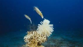 Lessoniana de Sepioteuthis de calmar de récif de Bigfin C'est un céphalopode, lié au poulpe et aux seiches photos libres de droits