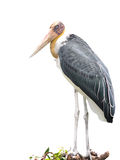 Lessor adjutant stork Bird Royalty Free Stock Images