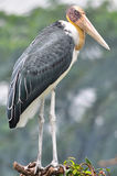 Lessor adjutant stork Bird Stock Photos