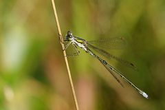 Lestes dryas Stock Images