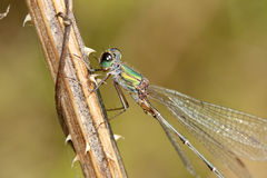 Lestes parvidens. Detail of Lestes parvidens, Eastern Willow Spreadwing, photographed in nature royalty free stock photography
