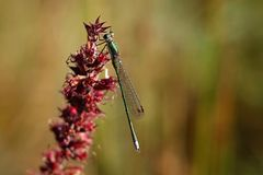 Lestes viridis Stock Photos