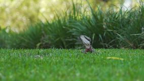 Lesueurii australiano de Intellagama del dragón de agua en Queensland, Australia almacen de video