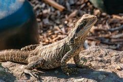 Lesueurii australiano de Physignathus del lagarto de dragón de agua fotografía de archivo libre de regalías