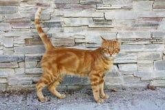 Wild Ginger Lesvos Cat, Greece, Europe. Wild Ginger Cat on Lesvos Island, Greece, Europe royalty free stock photo