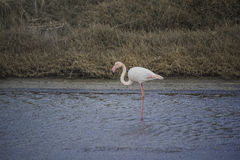 Lesvos, salt plant kalloni. Flamingo Phoenicopterus ruber Greek Island. Blue sea, at salt plant of kalloni, Lesvos with an pink flamingo. Winter Royalty Free Stock Image