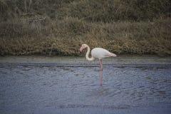 Lesvos saltar växtkalloni Ö för grek för flamingoPhoenicopterus ruber royaltyfri bild