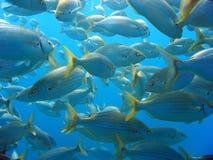 leszcza morza tłum Fotografia Royalty Free