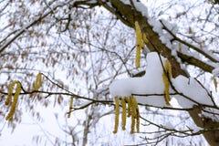 Leszczyna kwitnie pod śniegiem zdjęcie royalty free