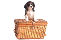Let go to the Park. Adorable puppy sitting by a picnic basket - isolated on white background Stock Photography