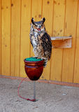 Let me be!. A great horned owl says Let me be Royalty Free Stock Images