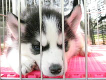 Let me go. The dog's voice is let me go out from cage Stock Images