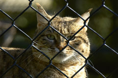 Let me out. Wild cat in a cage Stock Photos