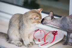 Let me smell your nose. Two cats smelling each other standing near a pair of red and white flip flops. Inspiring lovely and funny scene Royalty Free Stock Images