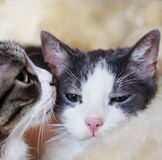 Let me tell you ... Two cats doing conversation on comfortable coat Royalty Free Stock Image