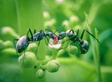 Ants drink together royalty free stock photo