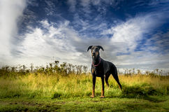Let's go. Black and tan Dobermann standing in a field, ready to go Stock Photo