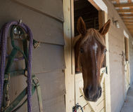 Lets Go! Brown Horse in stable with bridle Stock Images
