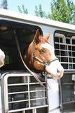 Let's go for a ride!. Horse looking out of trailer stock photography