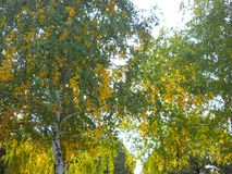 Let`s go for walk down the Birch street. Early autumn portrait of birches, their crowns,leaves and branches. Shades of green and yellow over light blue sky. Sun Royalty Free Stock Image
