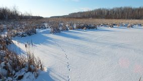 The footprints of the fox on the snow. royalty free stock photo