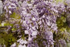 Let`s help our honey bees survive. Soft beautiful lavender wisteria providing pollen for the two hard working honey bees on a sunny spring day Royalty Free Stock Photography