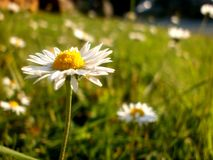 Let& x27;s pick some daisies. Daisies in summer royalty free stock images