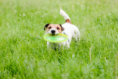 Let's play frisbee. Jack Russell Terrier playing with flying disk Royalty Free Stock Photos