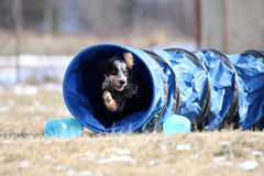 Let`s try agility! Dog is going through the tunnel. Dog during agility sport is going through the tunnel Royalty Free Stock Photo