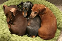 Let sleeping dogs lie. Three Dachshunds sleeping cuddled together in as bed Stock Photo