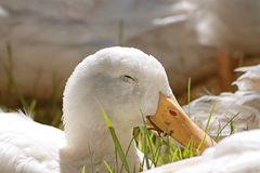Let Sleeping Ducks Lie. White duck sleeping in the park Royalty Free Stock Images