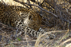 Let Sleeping Leopard Lay Stock Photography