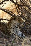 Let Sleeping Leopard Lay Stock Photos