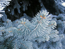 Let it snow. Blue frost spruce, super hoarfrost space needle. Snowing blue tree. Branches with frosty needles. Winter ice on the spruce tree. Time freeze royalty free stock photography