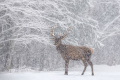 Let it snow: Snow-Covered Red Deer Stag Cervus Elaphus With Great Horns Stands Sideways Against A Snowy Forest And Snowflakes. R. One Snow-Covered Red Deer royalty free stock photography