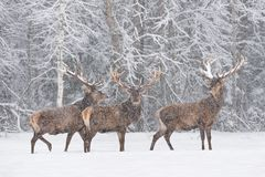Let It Snow: Three Snow-Covered Red Deer Stag Cervidae Stand On The Outskirts Of Forest.Three Noble Deer Cervus Elaphus Du stock photos