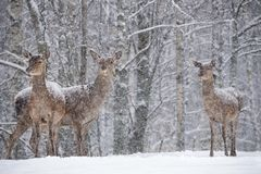 Let it snow: Three Powdered With Snow Female Red Deer Cervus Elaphus Stands At Background Of Snowy Birch Forest And Snowflake. S. Red Deer Cervidae During A royalty free stock images